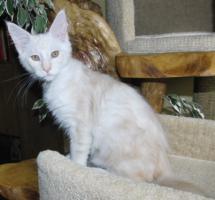 Foto 5 Wir haben Maine Coon Kitten in tollen Farben abzugeben!!