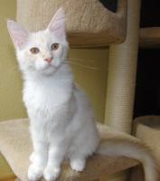Foto 6 Wir haben Maine Coon Kitten in tollen Farben abzugeben!!