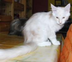 Foto 7 Wir haben Maine Coon Kitten in tollen Farben abzugeben!!