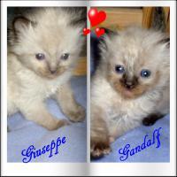 Wir haben Ragdoll Kitten !