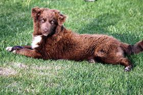 Foto 2 Wir haben zur Zeit noch wunderschöne Australian Shepherds abzugeben !!