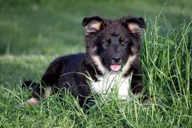 Foto 3 Wir haben zur Zeit noch wunderschöne Australian Shepherds abzugeben !!