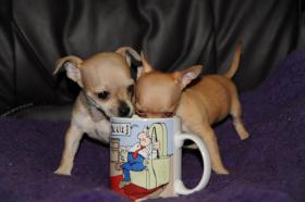 Wir haben gesunde, typvolle & gut sozialisierte Chihuahua Welpen