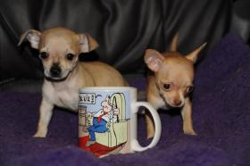 Foto 2 Wir haben gesunde, typvolle & gut sozialisierte Chihuahua Welpen