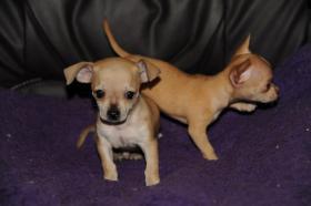Foto 3 Wir haben gesunde, typvolle & gut sozialisierte Chihuahua Welpen