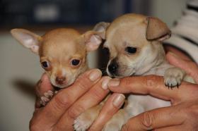 Foto 4 Wir haben gesunde, typvolle & gut sozialisierte Chihuahua Welpen