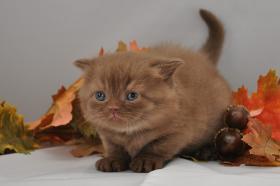 Wir haben nur noch 3 Wunderschöne BKH-Katzen mit Stammbaum Wir haben aus unserer kleinen Hobbyzucht 5 kuschelige Bkh-Bärchen in liebevolle Hände abzugeben. Unsere Kitten wachsen bei uns in der Familie auf, sind verspielt, verschmust, sehr menschenbezogen
