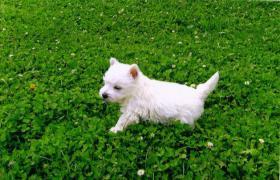 Wir haben süsse Westhighland Terrier Babys mit Stammbaum !