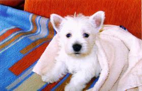 Foto 2 Wir haben s�sse Westhighland Terrier Babys mit Stammbaum !
