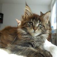 Foto 2 Wir haben wundersch�ne Maine Coon Kitten