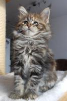 Foto 4 Wir haben wundersch�ne Maine Coon Kitten