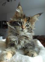 Foto 5 Wir haben wundersch�ne Maine Coon Kitten