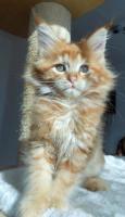 Foto 6 Wir haben wundersch�ne Maine Coon Kitten
