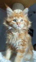 Foto 7 Wir haben wundersch�ne Maine Coon Kitten