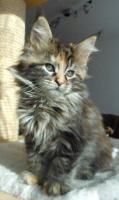 Foto 8 Wir haben wundersch�ne Maine Coon Kitten