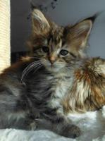 Foto 9 Wir haben wundersch�ne Maine Coon Kitten