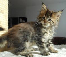 Foto 10 Wir haben wundersch�ne Maine Coon Kitten