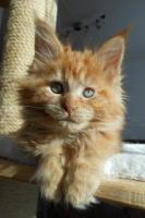 Foto 11 Wir haben wundersch�ne Maine Coon Kitten