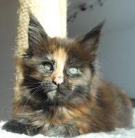 Foto 12 Wir haben wundersch�ne Maine Coon Kitten