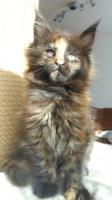 Foto 13 Wir haben wundersch�ne Maine Coon Kitten