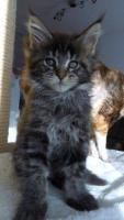 Foto 14 Wir haben wundersch�ne Maine Coon Kitten