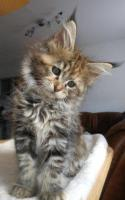 Foto 15 Wir haben wundersch�ne Maine Coon Kitten