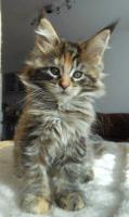 Foto 16 Wir haben wundersch�ne Maine Coon Kitten
