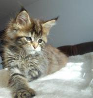 Foto 17 Wir haben wundersch�ne Maine Coon Kitten