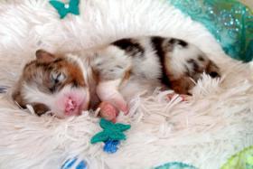 Wir plannen für Herbst 2012 einen traumhaften  Australian Shepherd Wurf !!!!