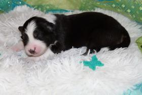 Foto 2 Wir plannen für Herbst 2012 einen traumhaften  Australian Shepherd Wurf !!!!