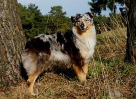 Foto 6 Wir plannen für Herbst 2012 einen traumhaften  Australian Shepherd Wurf !!!!