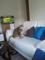 Wir suchen für unsere Ayla( Bengalkatze) ein neues liebevolle zu Hause