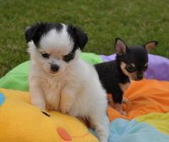 Wir suchen für unsere kleinen Sonnenscheine ein schönes Zuhause auf Lebenszeit. Typvolle, bildschöne, reinrassige Mini Chihuahua Welpen in verantwortungsbewusste Hände absofort abzugeben. Unsere Welpen sind bei Abgabe tierärztlich untersucht, mehrfach ent