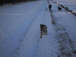 Wolfshund welpen
