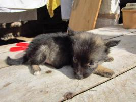 Foto 3 Wolfsspitz-Border Mischlingswelpe