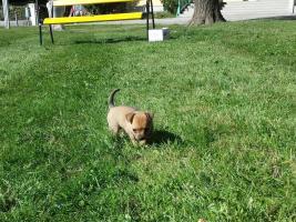 Foto 2 Wunder schöner Chihuahua Welpe