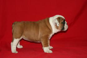 Foto 3 Wunderbare Bulldog Welpen zu verkaufen