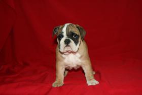 Foto 5 Wunderbare Bulldog Welpen zu verkaufen