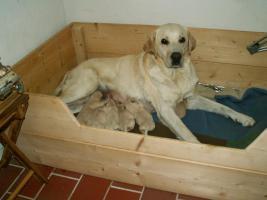 Wunderbare Golden LabradorRetrieverwelpen zu verkaufen
