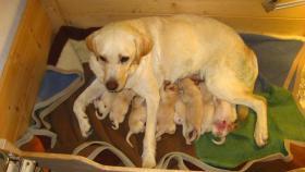Foto 2 Wunderbare Golden LabradorRetrieverwelpen zu verkaufen