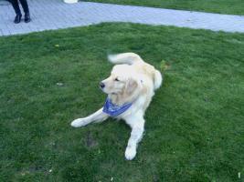 Foto 3 Wunderbare Golden LabradorRetrieverwelpen zu verkaufen