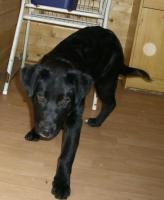 Foto 2 Wunderhübscher, schwarzer Labrador-Appenzeller-Mix-Welpe sucht gutes Zuhause