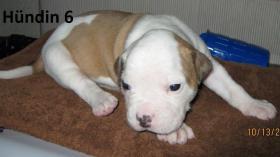 Foto 3 Wunderschöne American Bulldog Welpen