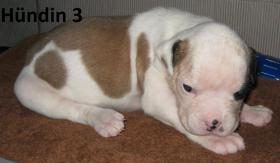 Foto 4 Wunderschöne American Bulldog Welpen