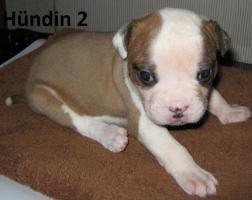 Foto 5 Wunderschöne American Bulldog Welpen