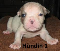 Foto 7 Wunderschöne American Bulldog Welpen