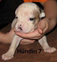 Foto 8 Wunderschöne American Bulldog Welpen