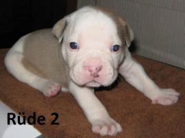 Foto 9 Wunderschöne American Bulldog Welpen