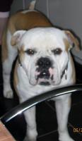 Foto 12 Wunderschöne American Bulldog Welpen