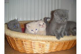 Wunderschöne BKH-Babys